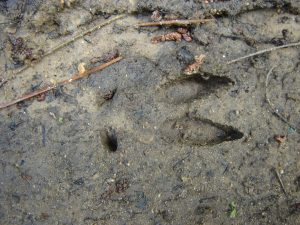 Wild Boar Footprint