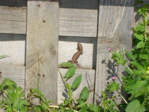 Common Lizard on a pallet