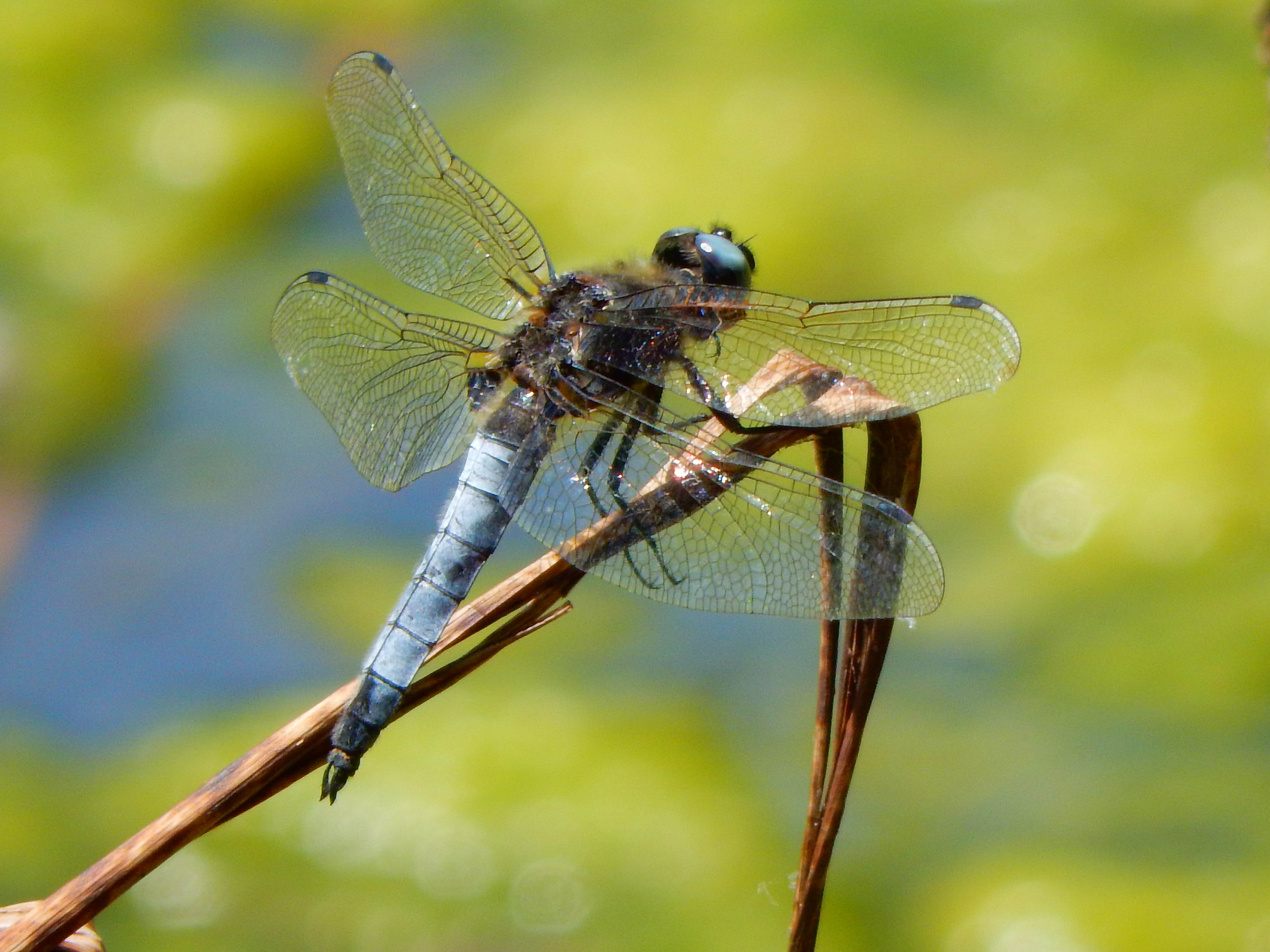 Black-tailed Skimmer (adult male)